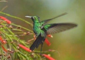 colibri-Cienaga232