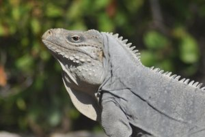 Iguana-Cienaga194