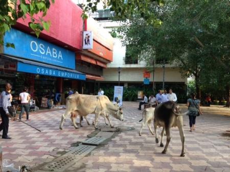 vacas-inidia