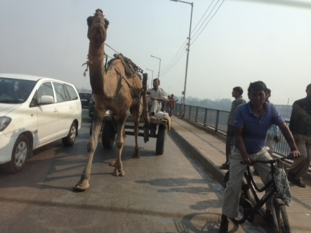 camello-india